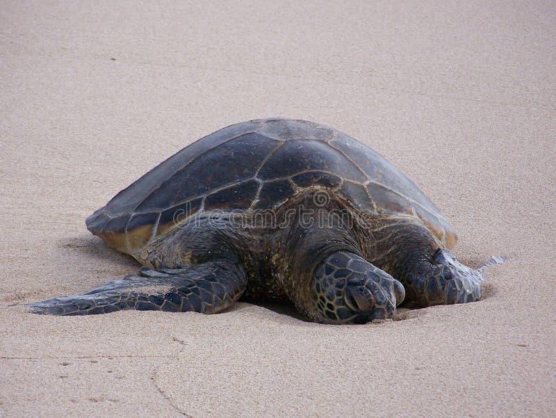 Honu che espone al sole sulla spiaggia fotografia stock libera da diritti