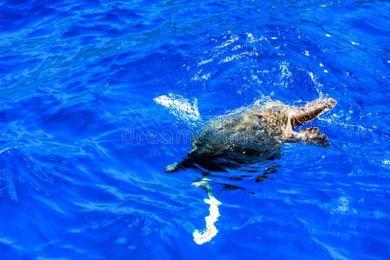 Honu-Tauchen im Pazifik stockfotos