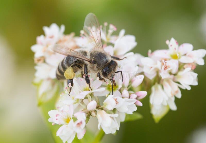 Honung skönhet som är blom-, bakgrund, kronbladet, vit, naturen som är nedsmutsad, pollen, fältet, biblomman som är solig, snabel arkivbild