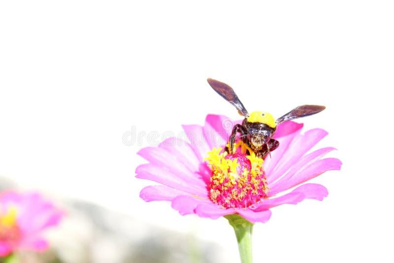 Honungbi royaltyfri fotografi