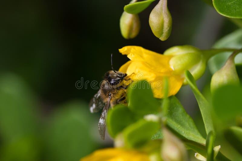 Honungbi eller honungsbi som samlar pollen för att göra honung royaltyfri foto