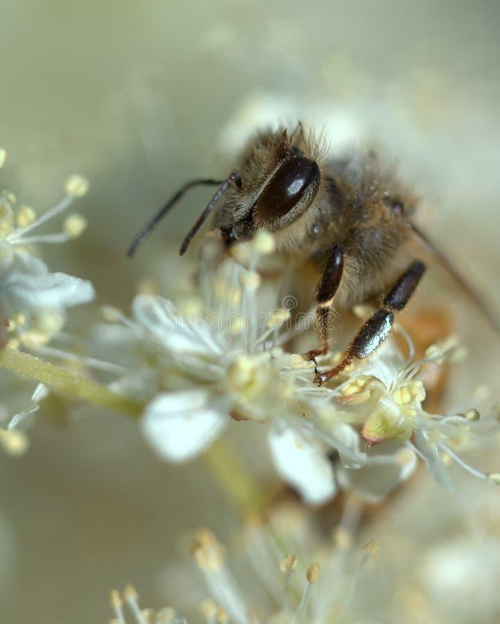 Honungbi i en vit dröm arkivbilder