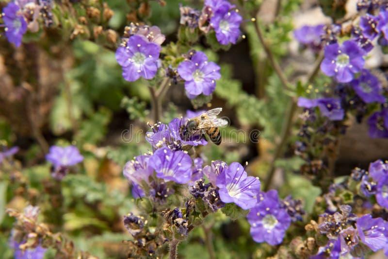 Honungbi längs malmletares siktsslingan, borttappad holländaredelstatspark, Arizona fotografering för bildbyråer