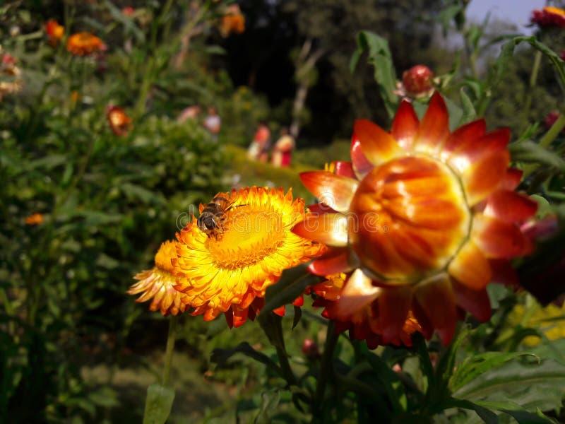 Honungbi med blomman royaltyfri foto