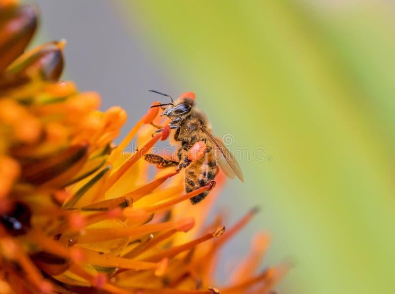 Honungbi och orange blomma arkivbilder