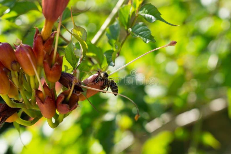 Honungbi på blommor för träd för trumpetvinranka slovakia royaltyfri bild