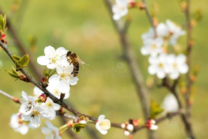 Honungbi på en äppleblomning royaltyfri fotografi