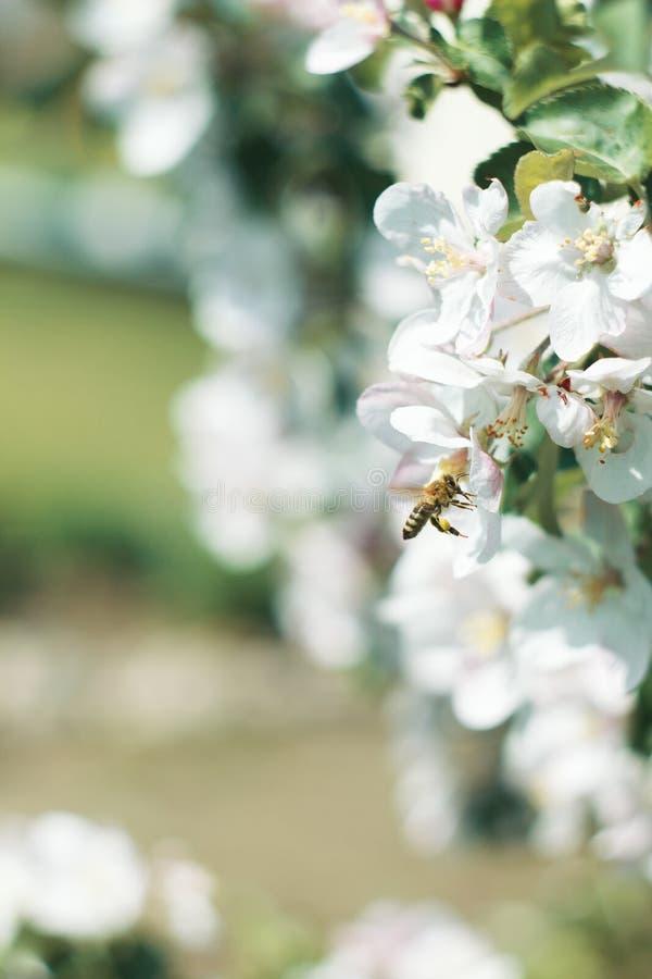 Honungbi på en blomning royaltyfri bild