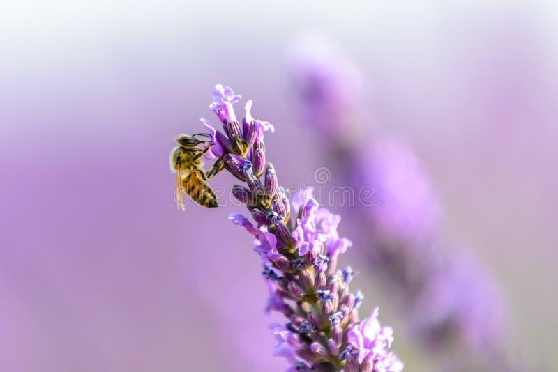 Honungbi på en lavendelblomma, Provence fotografering för bildbyråer