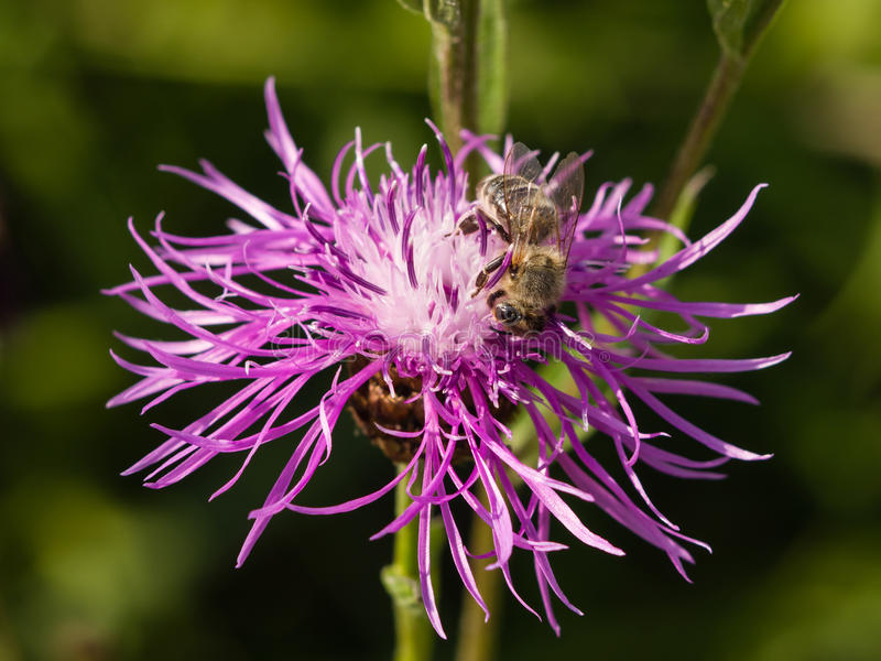 Honungbi på knapweedblomman, makro, selektiv fokus royaltyfri bild