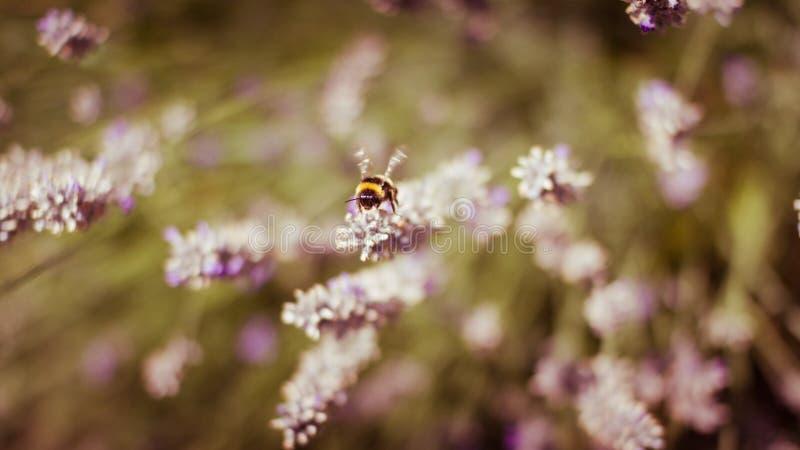 Honungbi på lavendel royaltyfria foton