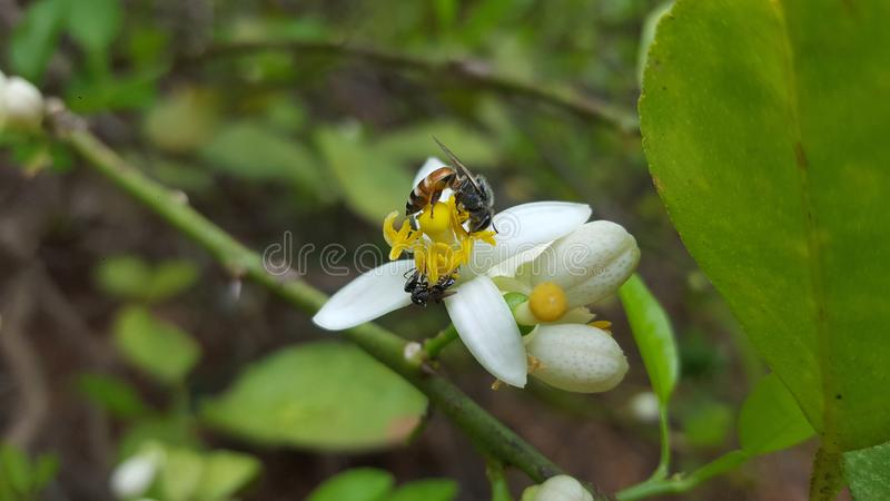 Honungbi på limefruktblomman arkivbild