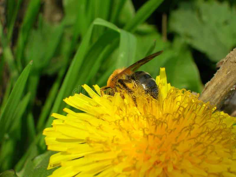 Honungbi på maskrosblomman arkivfoton