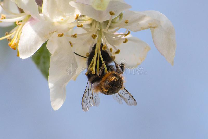 Honungbi som drar ut nektar fr?n frukttr?dblomman royaltyfri foto