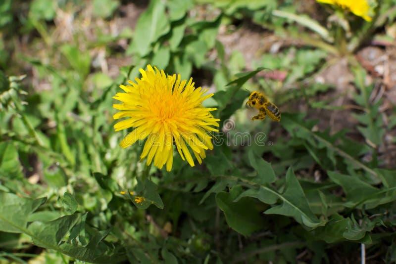 Honungbi som mot efterkrav flyger till en gul maskrosblomma till nektar arkivbilder