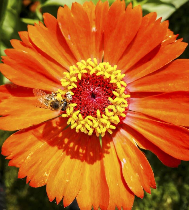 Honungbi som samlar pollen på blomman, närbild arkivbilder