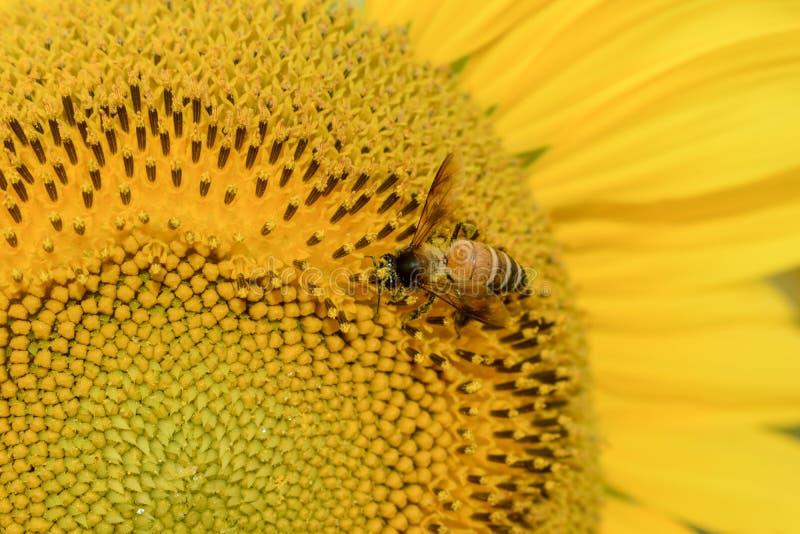 Honungbi som samlar pollen på solrosen royaltyfri fotografi