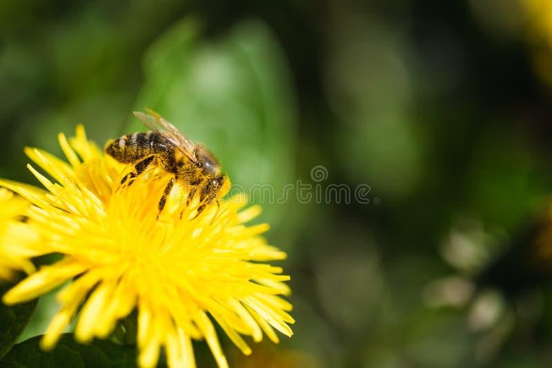 Honungbi som t?ckas med gult pollen som samlar nektar fr?n maskrosblomman royaltyfria bilder