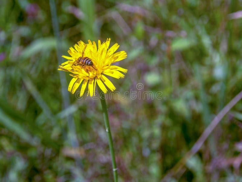 Honungbiarbetare som samlar pollen från en maskros royaltyfri fotografi