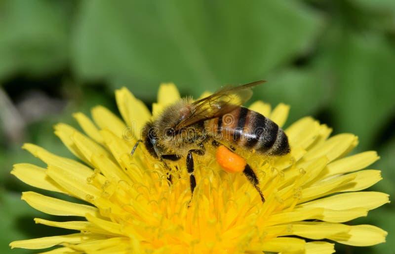 Honungbiet är upptaget att pollinera en gul maskrosblomma royaltyfria bilder