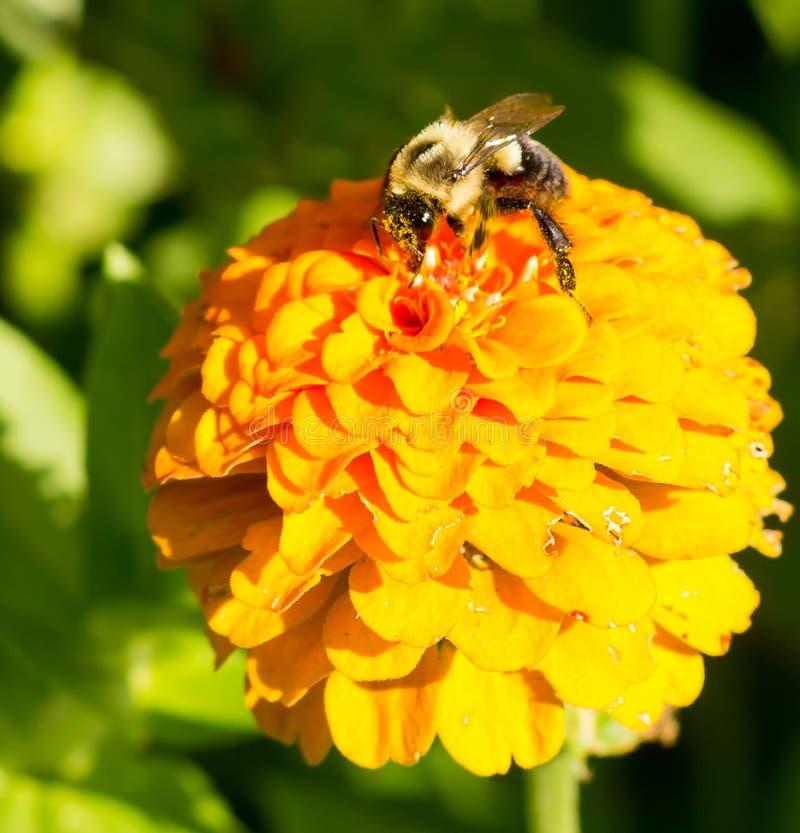 Honungbiet på blommarätsida för orange guling dominerar sen sommar med pollensäckar på legs-3448 arkivbild
