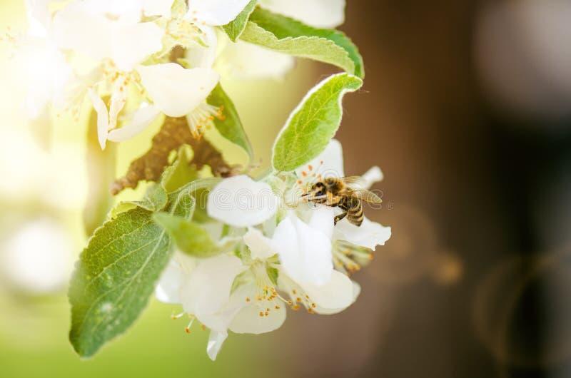 Honungbiet på en vit blomma och att samla polen Flyghonungsbi Ett biflyg under solskendag kryp royaltyfri fotografi