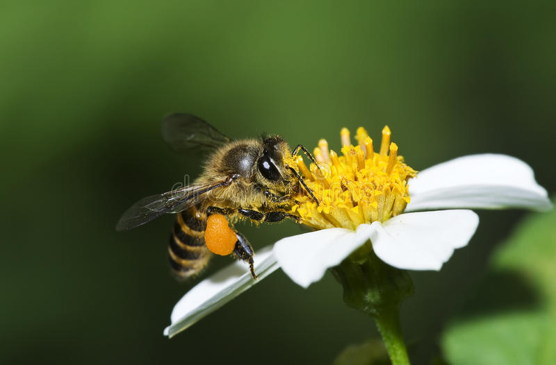Honungbin arkivfoton