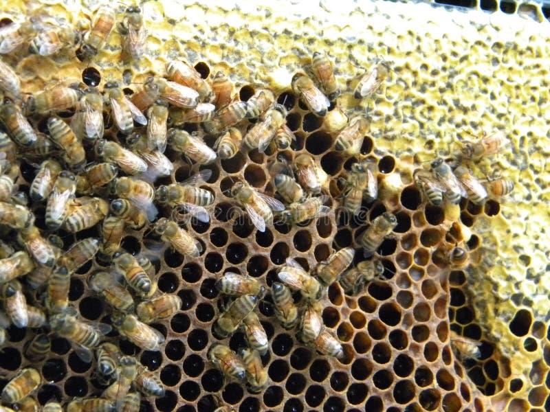 Honungbin som levererar nektar in i celler arkivbild