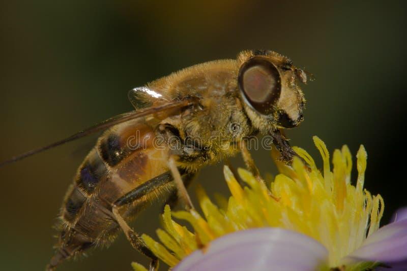 Honungsbi pollinerad makro royaltyfria foton