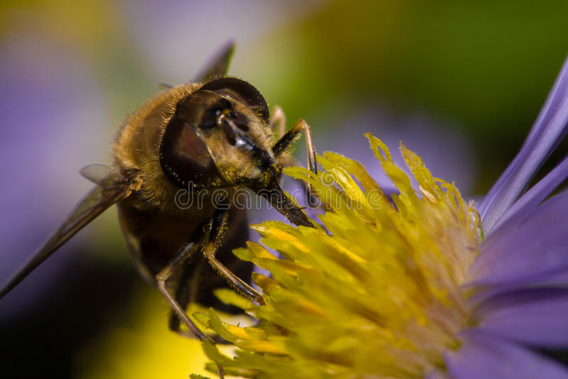 Honungsbi pollinerad makro royaltyfri foto