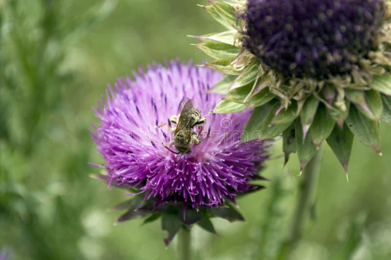 Honungsbi som pollenating en tistelblomma royaltyfri bild