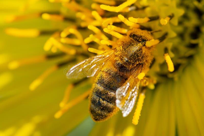 Honungsbi som pollinerar på den gula falska solrosen i präriefält Asteraceaefamilj Rhizomatous örtartad perenn royaltyfri fotografi