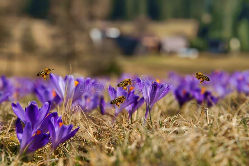 HonungsbiApismellifera, bin som på våren flyger över krokusarna fotografering för bildbyråer