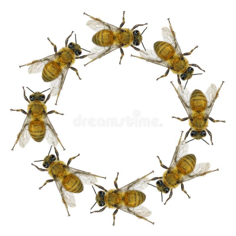 Honungsbicirkel arkivbild