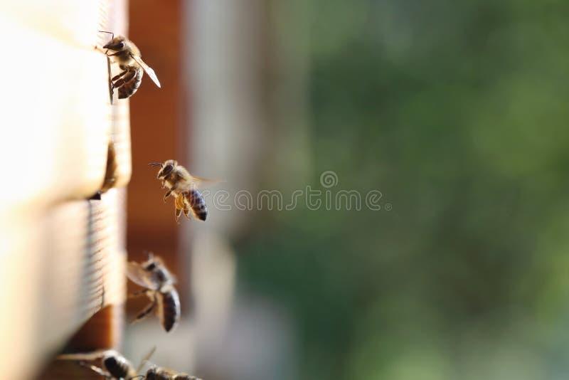 Honungsbin bär pollen arkivbild
