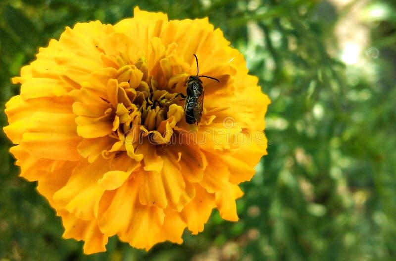honungsbin Samla pollen från marigold blomma nära fotografering för bildbyråer
