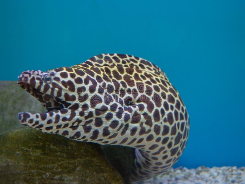 Honungskaka Moray Eel arkivbilder