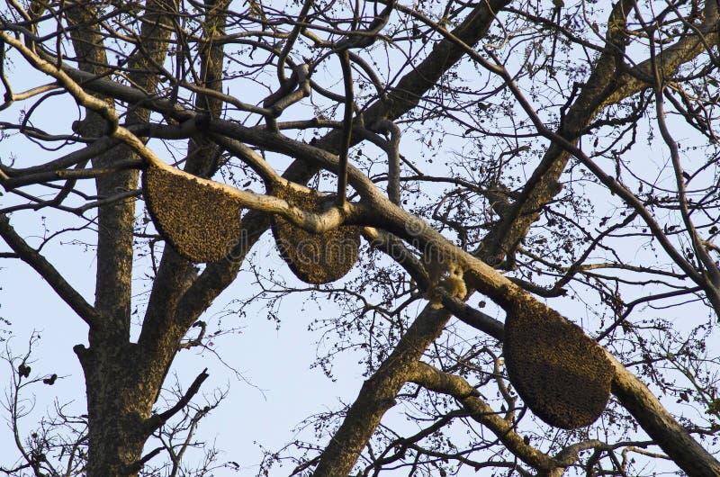 Honungskaka på träd, Nagzira lös livfristad, Bhandara, nära Nagpur, Maharashtra royaltyfri fotografi