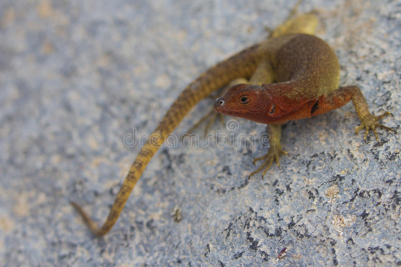 Download Hood Lava Lizard stock photo. Image of south, wild, reptile - 22107312