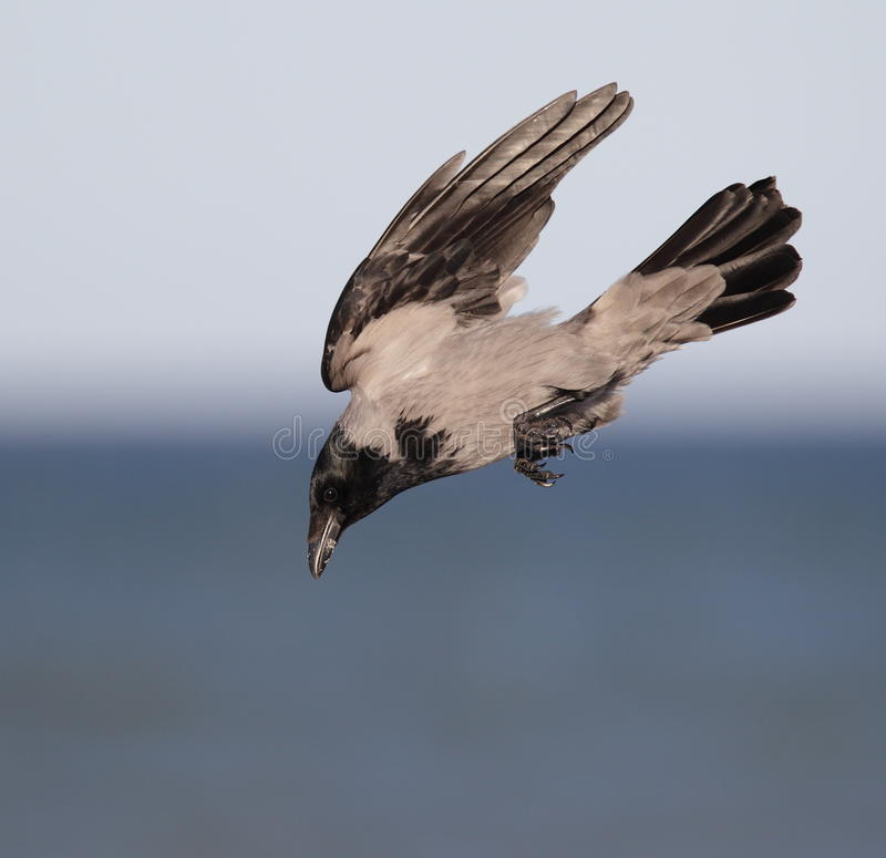 Free Hooded Crow Royalty Free Stock Image - 18733206