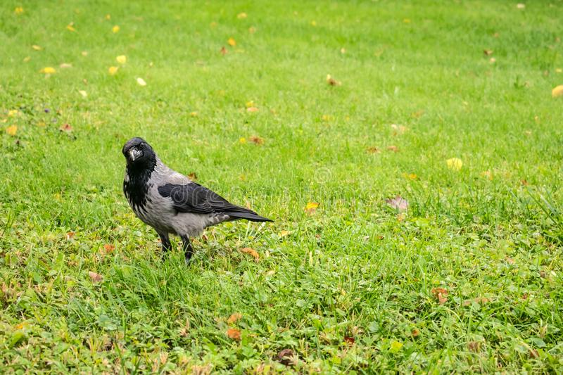 Hooded Crow, Corvus cornix on a background of green grass with y. Ellow leaves. Smart grey and black crow bird looks into the camera and turned her head to one stock photography