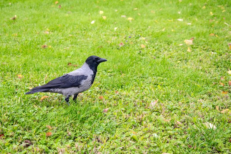 Hooded Crow, Corvus cornix on a background of green grass with y. Ellow leaves. Smart grey and black crow bird standing still on the grass, taken from side royalty free stock photos