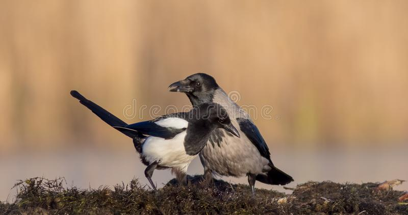 Hooded Crow - Corvus cornix / Common Magpie - Pica pica royalty free stock photos