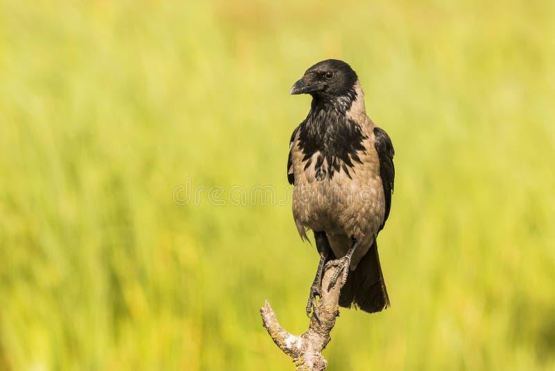 Hooded crow, Corvus cornix. Corvus cornix, Hooded crow, big black bird royalty free stock image
