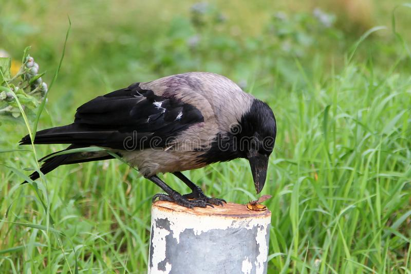 Hooded crow Corvus cornix eating a beetle royalty free stock photography