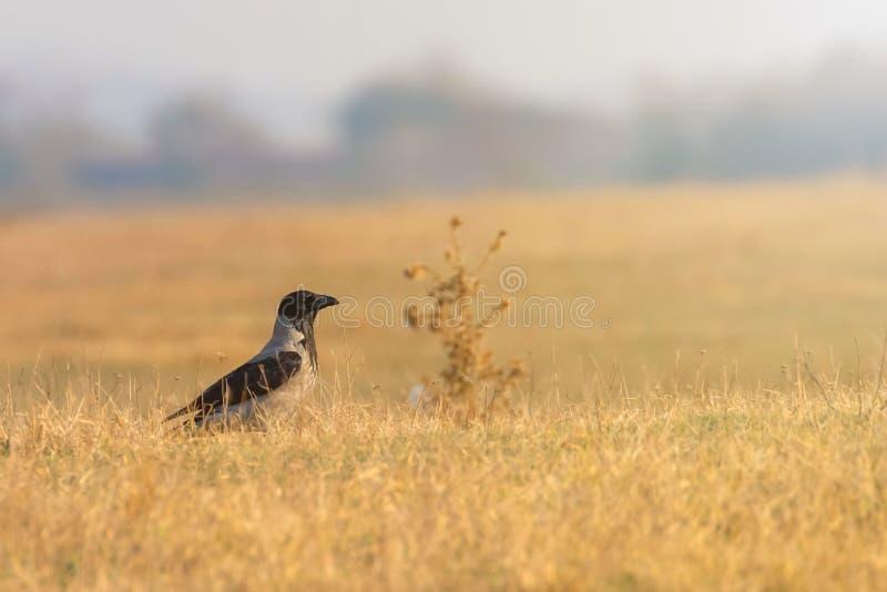 Hooded Crow Corvus cornix on the grass Autumn. Wildlife stock photos