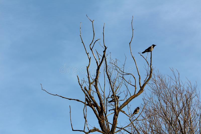Hooded crow or Corvus cornix grey and black small birds sitting calmly on old dead tree with dried branches overlooking royalty free stock images