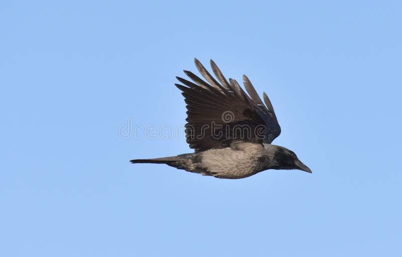 Hooded crow in flight against the blue sky. In january royalty free stock photos
