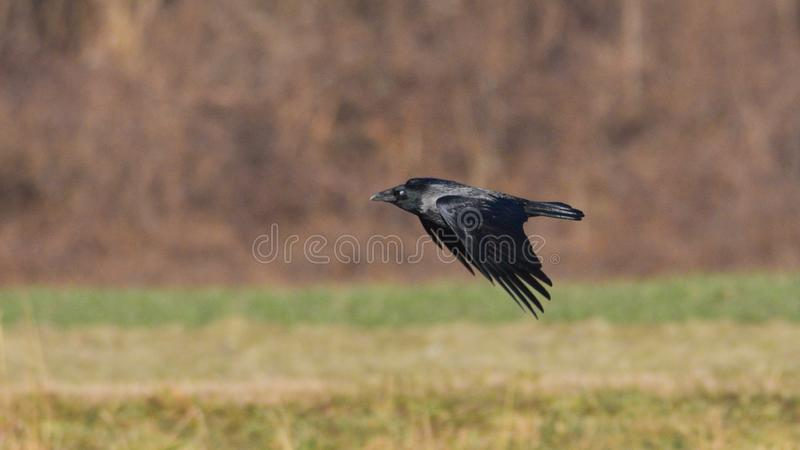 Hooded crow in flight over the meadow. In january royalty free stock images