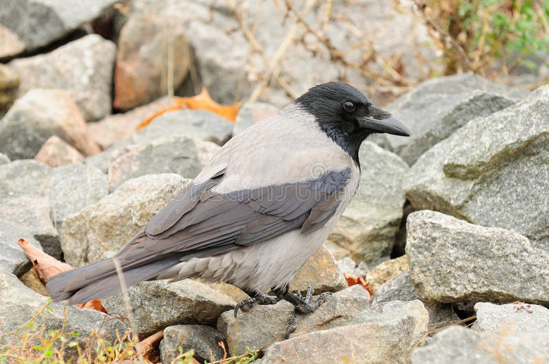 Hooded Crow on Stones Close-up. A close-up shot of hooded crow (Corvus cornix) on stones stock images